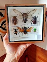 Bugs insects taxidermy real pair of entomology frame display diverse collection