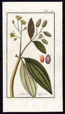Antique Botanical Print-CINNAMOMUM-SWEET CINNAMON-TAB 245-Zorn-1796