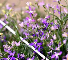 NIGHT SCENTED STOCKS - 3500 SEEDS - Matthiola LAVENDER BLUE - ANNUAL FLOWER