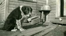 "Zz582 Vtg Photo Border Collie Dog, ""Old Jack"" c 1940's"