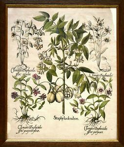 Besler: I. Staphylodendron. II-V. Clematis daphnoides. Gerahmter O.-Kupferstich.