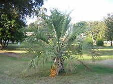 BUTIA CAPITATA 8 semi semillas seeds Pindo o Jelly Palm Palma a foglie pennate