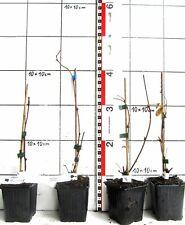 Akebia QUINATA-RARE asiatici si arrampichi pianta
