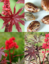 PURPLE JATROPHA rare color succulent exotic red impala tree desert seed 20 seeds