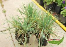 3 Gräser für trockene Standorte – blaues Schillergras