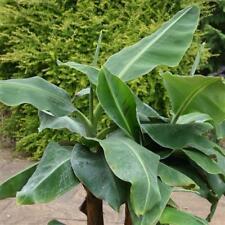 Musa accuminata Dwarf Cavendish British Grown 9cm Pot Please Read Description
