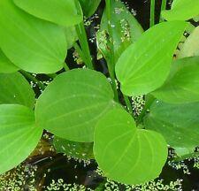 Froschlöffel grüne winterharte Filterpflanzen Deko für den Gartenteich Teichdeko