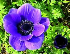 Anemone coronaria, Windflower, 25 seeds, great cut flower, easy perennial