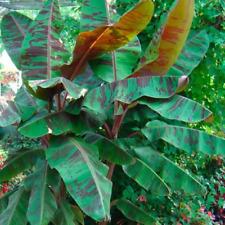 Banana Fruit Tree Musa Sumatrana