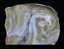 CONIFER FROM MUD SPRINGS, OREGON - polished petrified wood