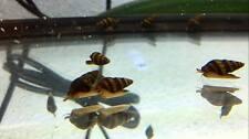 3 Assassin Snails Freshwater Aquarium Fish Tank Snail KILLS Invasive Snails!
