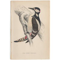 Morris antique 1863 hand-colored engraving, Bird print, Pl 66 Spotted Woodpecker
