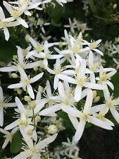 Wild Clematis-Love Vine-Perennial-White Blooms-25 Seeds from my yard-2016