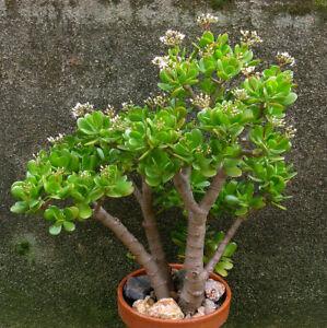 100Pcs Crassula Money Tree Tree Seeds Rare Kind Perennial Bonsai Room Plant