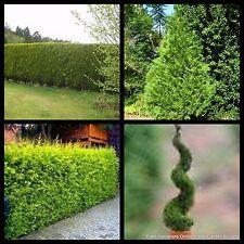8 Castlewellan Gold Conifer Hedge Plants Trees Garden Cupressocyparis leylandii