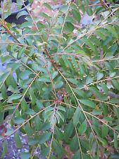 Fresh Picked CURRY LEAVES(Murraya koenigii), 100% Organic,35 gm/pk, CA-USA Grown
