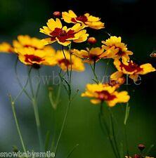 2000 Plains Coreopsis Seeds Tickseed Tinctoria Garden Flower Heirloom CombSH New
