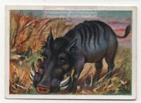 Common South African Warthog Phacochoerus africanus 1930s Trade Ad Card