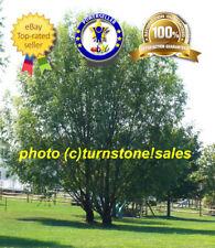 "6 x 24"" Cuttings Hybrid Willow Tree Austree Fast Growing Privacy Windbreak Shade"