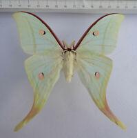 Saturniidae,  Actias selene Männchen ex Vietnam ,       S-2/10