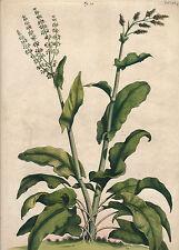 Abraham Munting 1711 Acetosa Hispanica botanical medicinal plant HC engraving