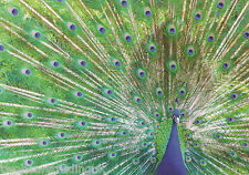 Postcard: Animal Kingdom - Peacock Display (The Postcard Store)