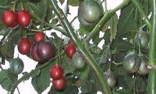 Tamarillo Cyphomandra betacea,Baumtomate, Tree Tomato, 20 Samen, 20 seeds