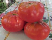 20 Tomato Seeds-Dwarf Project-ARCTIC ROSE Heirloom Vegetable Organic