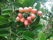10 FRESH CARISSA CARANDAS TROPICAL FRUIT SEEDS