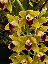 Cymbidium Golden SunWaterfalls XL Pflanze 1 Trieb XL Orchidee Orchideen