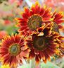 Autumn Beauty Sunflower Seeds USA Garden Flowers Big Sun Flower Seed for 2021