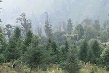Abies pindrow WEST HIMALAYAN FIR Tree Seeds!