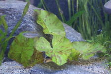 tiger lotus green TRES BEAU FEUILLES BIEN DEMARREES nymphea lotus vert aquarium