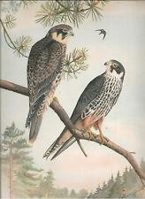 Naumann 1905 Naturgeschichte der Vogel Falco Subbuteo