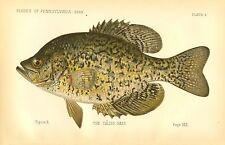 Very Rare Early 1889 Denton Fish Print  ~ The Crappie ~ First Denton's