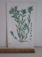Vintage Print,CORN GROMWELL,Botanical,Pease,Color