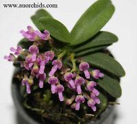 Orchids species Schoenorchis fragrans 1 Plant