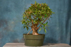 Dense Canopy on WILLOW LEAF Ficus '89 Pre-Bonsai Tree! Nice Nebari!