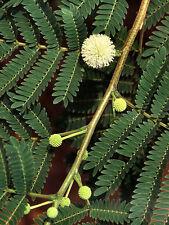 Leucaena leucocephala Lead Tree Seeds!