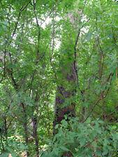 20 COMMON HOP TREE SEEDS - ptelea trifoliata
