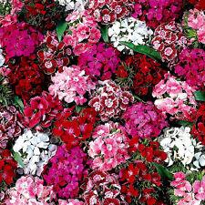 1500 GRAINES d'Oeillet de Poète Tapis des Indes / Fleur Variété Naine