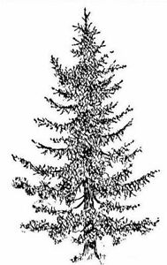 Christmas - Tree - Evergreen - Black Spruce Unmounted Clear Stamp Approx 37x60mm