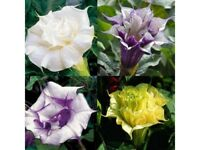 Flower Seeds DATURA METEL TERRY MIX