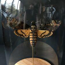 Papillon Sphinx Tête de Mort Acherontia Atropos XL naturalisé sous cloche