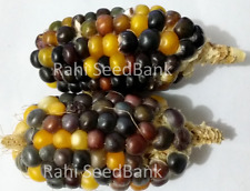 Corn Jelly Bean - An Extraordinary Jelly Bean Type Corn Variety!!!
