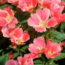 Godetia- Orange Glory- Grandiflora- 100 seeds- BOGO 50% off SALE