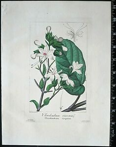 Bessa,P.Flore des Jardiniers,Clerodendrum viscosum,hand col.Engraving,c.1836