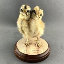 Taxidermy Two Headed Chick chicken 2 heads oddities weird