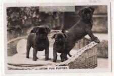 Pug Puppy Dog Canine Pet Animal 1930s Trade Ad Card