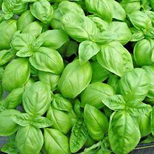 Plante Basilique Confiserie Genovese - 3500 Semences